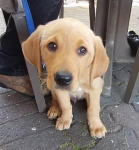golden retriever labrador mix - Google Search | Golden ...