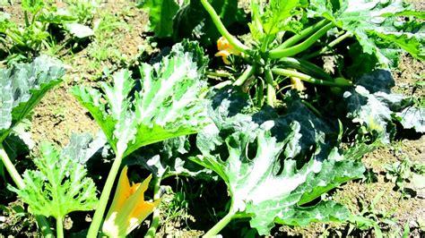 Kann Zucchini Roh Essen kann zucchini roh essen oder sind sie giftig