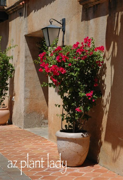 planting bougainvillea in pots creative plant ideas for containers birds and blooms