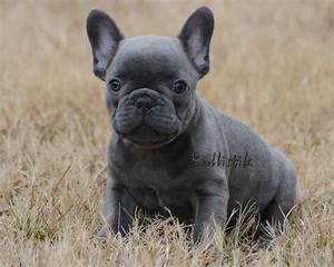 Blue French Bulldogs For Sale 8 Hd Wallpaper ...