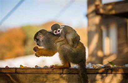 Monkey Squirrel Safari Animals Monkeys Foot Park