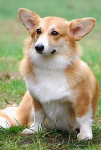 Cute Welsh Corgi Pembroke dog photo and wallpaper ...