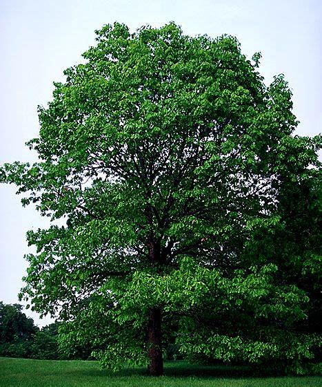 Maryland State Tree  White Oak  Maryland In 2019  Red