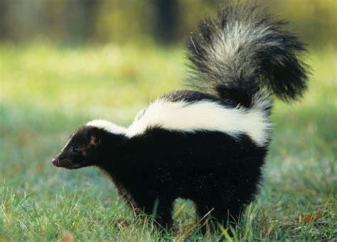 sprayed by skunk to the rescue sprayed by skunks popsugar pets