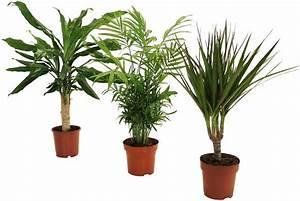 Palmen Kaufen Baumarkt : dominik zimmerpflanze palmen set h he 30 cm 3 pflanzen online kaufen otto ~ Orissabook.com Haus und Dekorationen