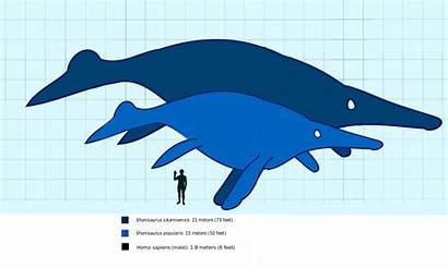 Shonisaurus Compared Human Svg 1200 Commons Largest
