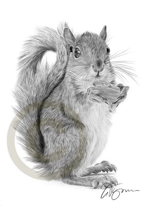 red squirrel pencil drawing print  size artwork