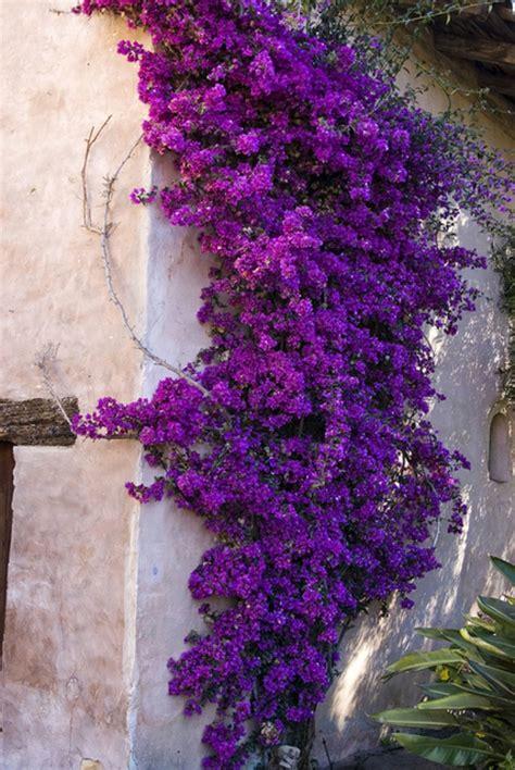 bluehende kletterpflanzen wunderschoene fotos archzinenet