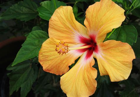 hibiscus care tips on caring for hibiscus plants