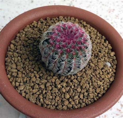 แคคตัส เรนโบว์ - cactus cacti | ข้อมูลกระบองเพชร ไม้อวบน้ำ