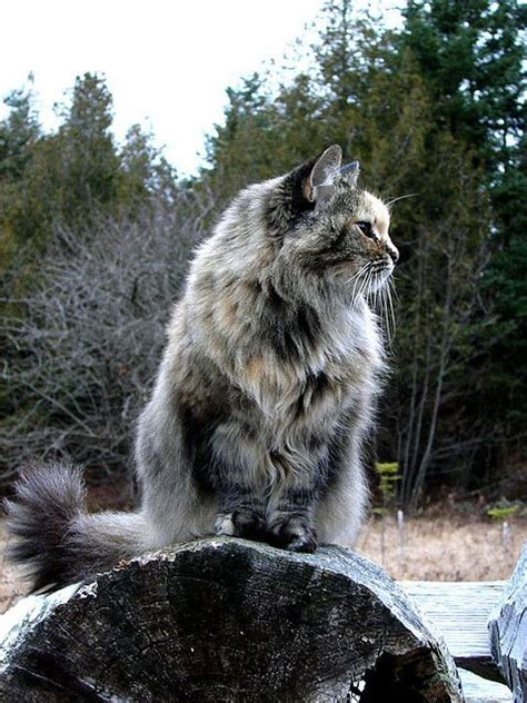 17 best images about maine coon cats on pinterest cat
