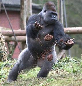 Imgs For > Angry Silverback Gorilla | Gorilla | Pinterest ...