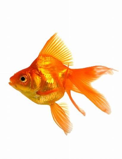 Goldfish Fantail Fish Gold Tank Clipart Fancy