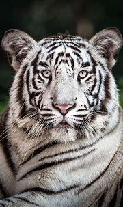 White tiger by Riyaz Quraishi | 500px | Majestic animals ...