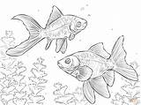 Comet Coloring Goldfish Fin Drawing Pages Goldfishes Template Getdrawings Printable Sketch sketch template