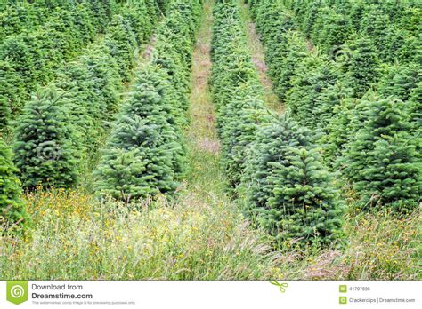 oregon christmas tree growers trees growing in oregon s willamette valley stock photo image of green valley 41797696