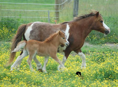 horses baby horse miniature mini animals american pony animal facts farm fun wallpapers height common