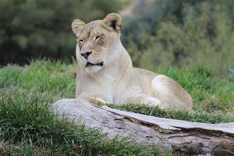 Free Images  Lioness Cat Feline Lion