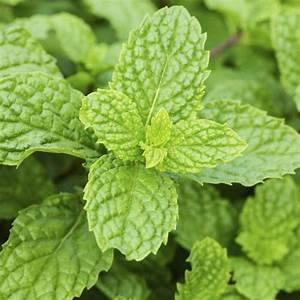 Pied De Menthe : plante anti puceron liste ooreka ~ Melissatoandfro.com Idées de Décoration