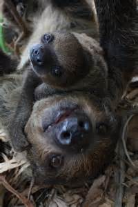 Mom and Baby Sloth