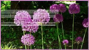 Planter Ail Rose : fleur d 39 ail ici et l le parfait jardin garden plants et rose ~ Nature-et-papiers.com Idées de Décoration