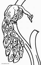 Peacock Coloring Pages Realistic Printable Cool2bkids Line Getdrawings Drawing sketch template