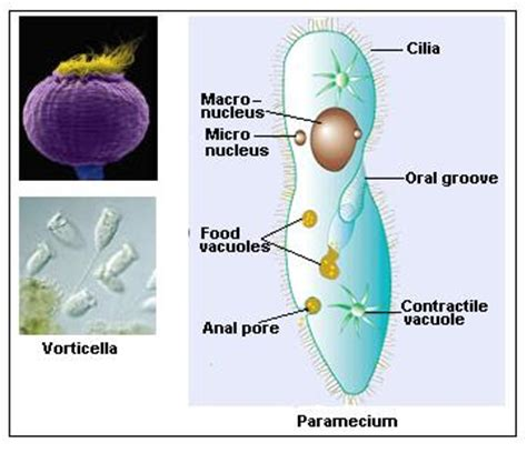 Zooflagellate Diagram Labeled by The Secrets In Biology Characteristics Of Ciliate