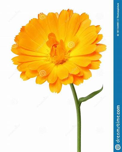 Daisy Side Yellow Background Clipping Isolated Path