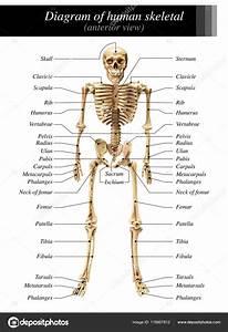 Femur Bone Diagram Untpikapps