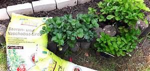 Erdbeeren Wann Pflanzen : erdbeeren pflanzen wann ist der beste zeitpunkt gr neliebe ~ Watch28wear.com Haus und Dekorationen
