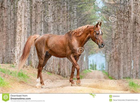horse road forest ras mooi rood bos walking arabian paard weg breed het arabisch lopen strada bello araba razza cavallo