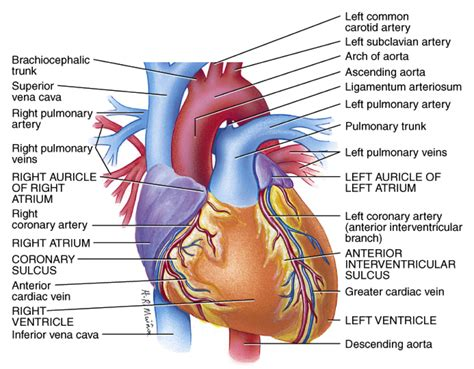 The human heart is an organ responsible for pumping blood through the body, moving the blood (which carries valuable oxygen) to all the without the heart, the tissues couldn't get the oxygen they need and would die. Heart/ Blood Vessel Notes at Auburn University - StudyBlue