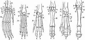He Diagram Shows The Leg Bones Of A  Left
