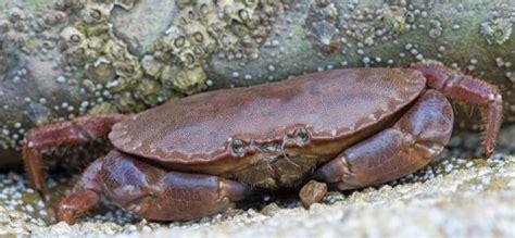 cuisiner le crabe cuisiner le tourteau technique de pêche