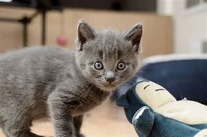 Beautiful Male Grey Tabby Kitten for Sale! | Glenrothes ...