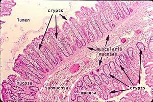 Pics For > Large Intestine Histology Labeled