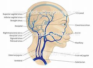 35 Diagram Of Head And Neck