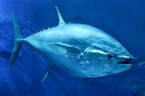 tuna fish tuna fins are weirder than you think