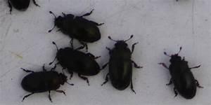 Ungeziefer In Der Wohnung Arten : kleine schwarze k fer ungeziefer ratgeber ~ Lizthompson.info Haus und Dekorationen