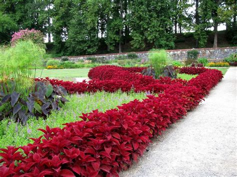 coleus garden coleus border flowers trees pinterest