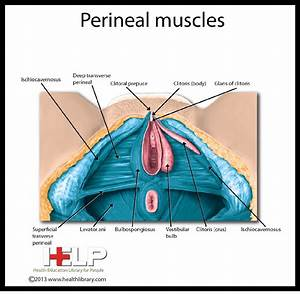 Perineal Muscles