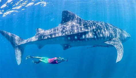 Where to Find a Cheap Isla Mujeres Whale Shark Tour - DIY