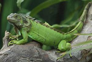 Green Iguana Facts and pictures | Reptile Fact