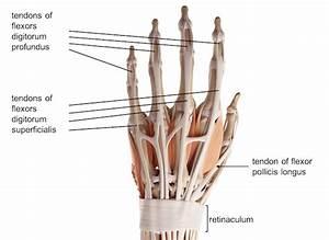 Hand Anatomy Ligaments