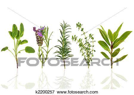 stock illustration  herb leaf selection