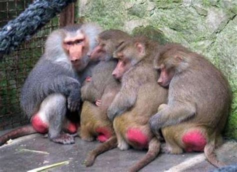 Scimmia Sedere Rosso by Perch 233 Si Dice Quot Curiosa Come Una Scimmia Quot Il Vaso Di