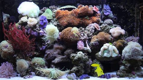 sea reef aquarium my sea max 250 corals mixed reef soft lps sps reef aquarium