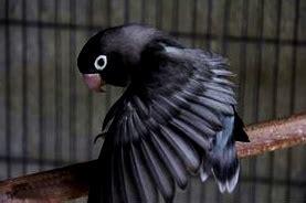 Sang Kesatria sang kesatria kegelapan lovebird batman dan hal yang