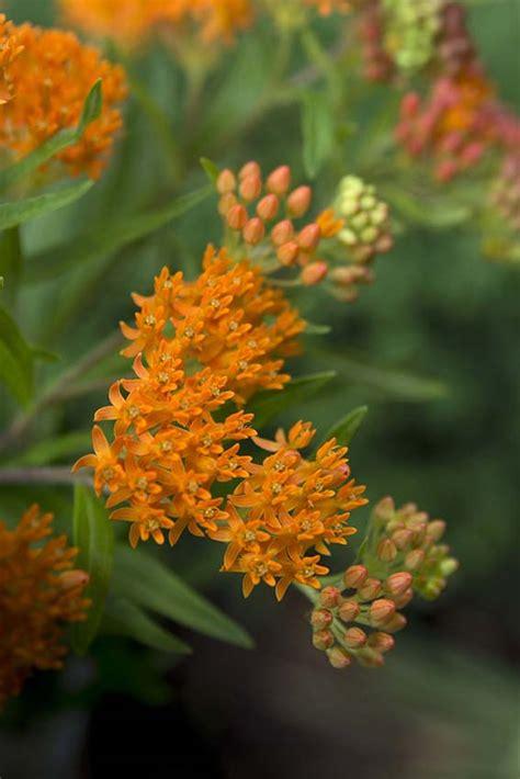 native milkweeds   plant  monarch
