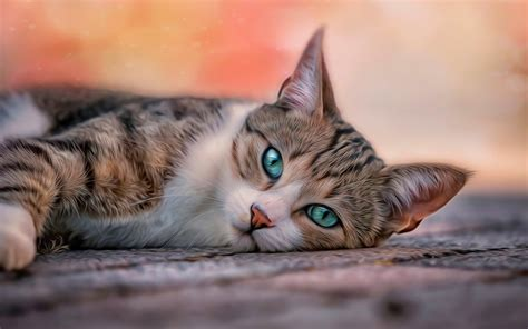 Hd Cat Wallpapers (64+ Images